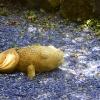 Pesce dorato