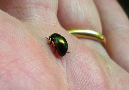 Insetti piccoli neri simple le altiche sono anche chiamate pulci di terra si tratta di piccoli - Insetti neri in casa ...