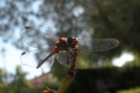 Insect watching - Red Dragonfly - Libellula rossa